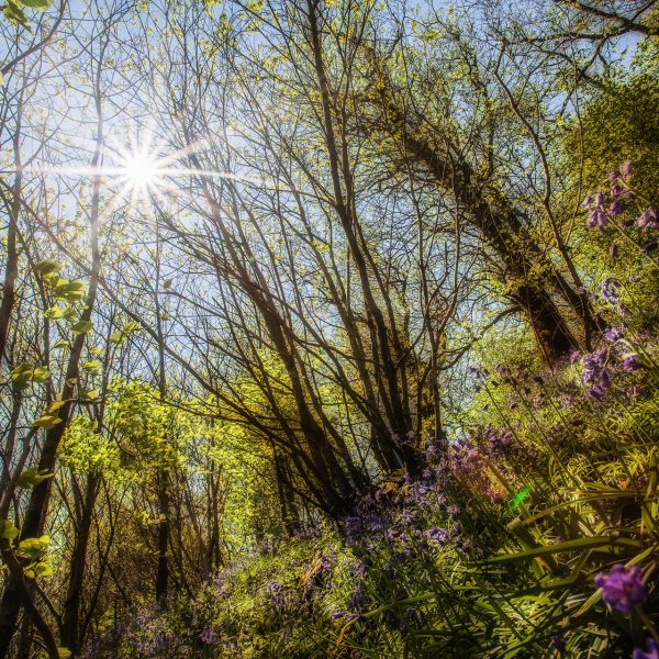 bluebell_woods-2