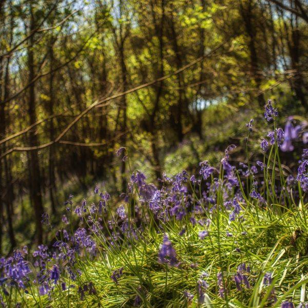 bluebell_woods-3
