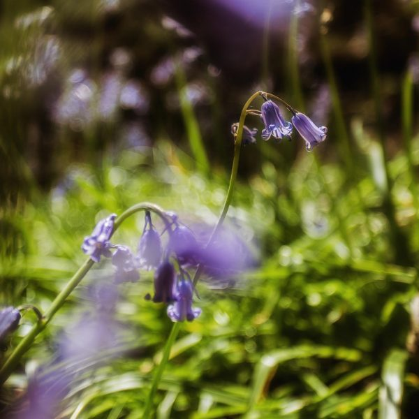 bluebell_woods-4