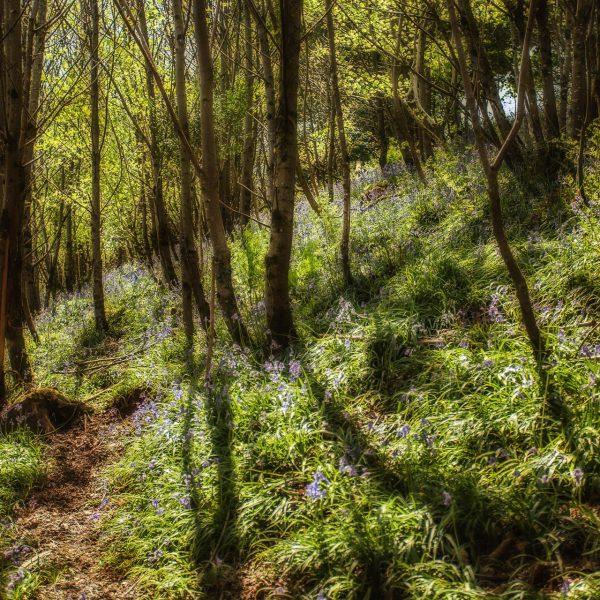 bluebell_woods-5