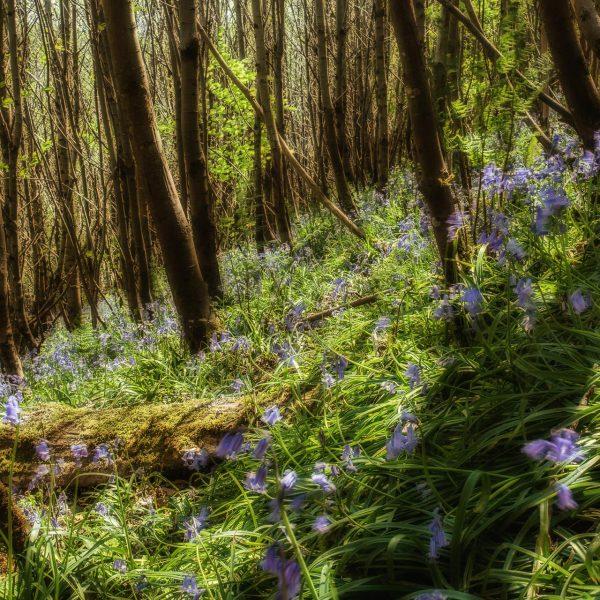bluebell_woods-6