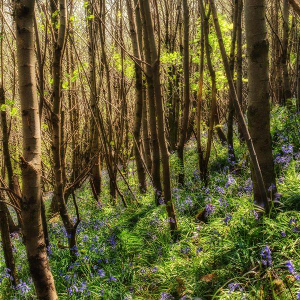 bluebell_woods-7