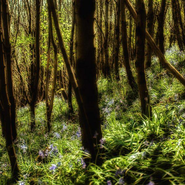 bluebell_woods-8