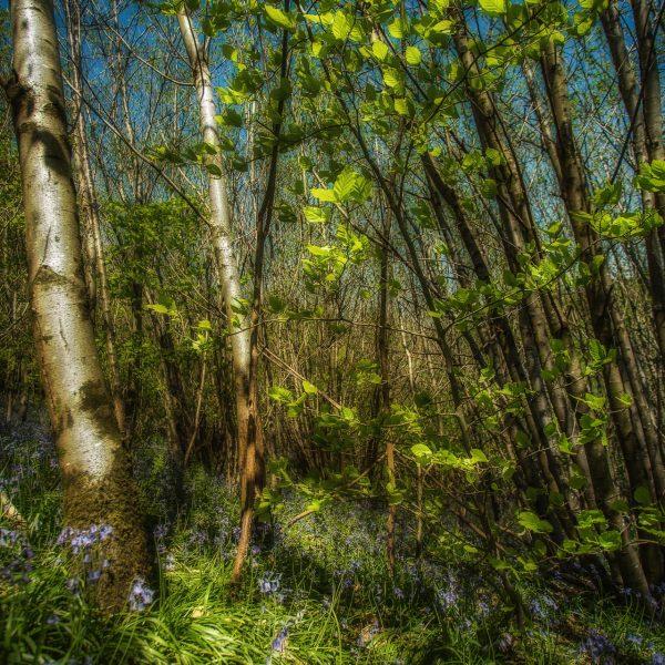 bluebell_woods-9