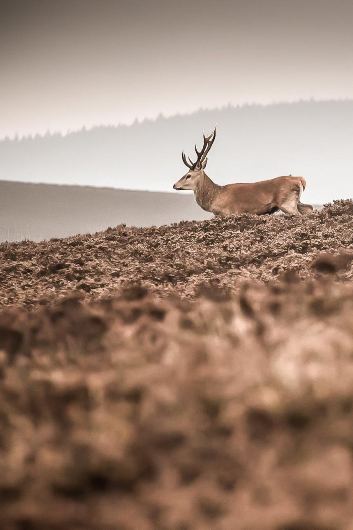 northdevon_wild_deer-1